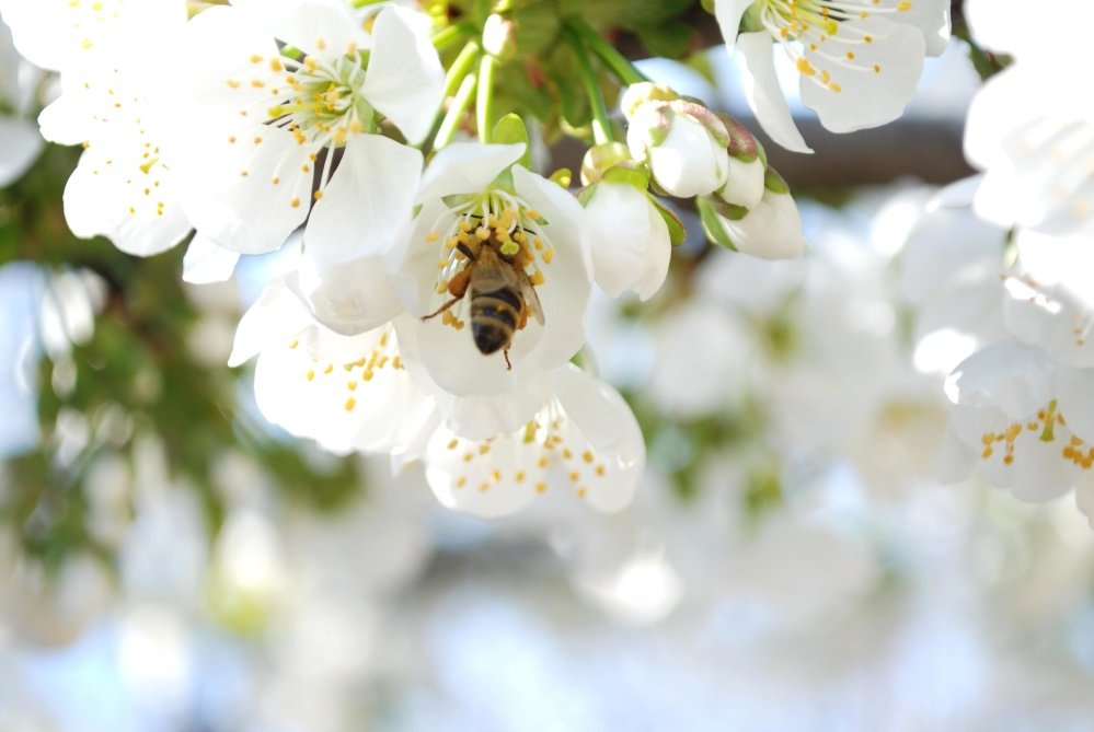 insect, bee, pollen, flower, nature, flora, tree, garden, spring, branch
