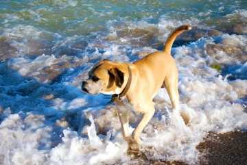 dog, water, pet, beach, summer, coast, wave, sand