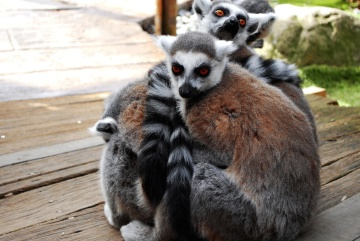 lemur, primate, fur, wildlife, animal, zoo
