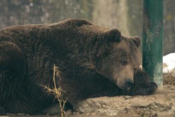 Faune, animal, nature, prédateur, grizzly, portrait, sauvage, fourrure, lumière du jour, ours