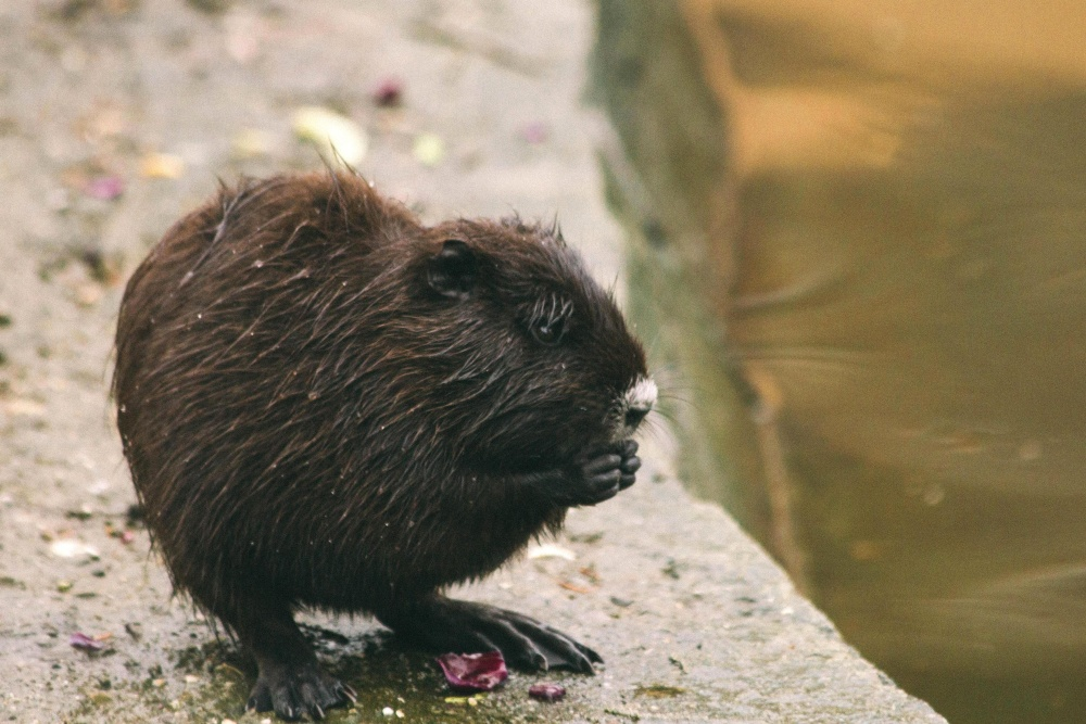 rodent and beaver Aplodontia rufa, commonly known as the mountain beaver, is the world's most primitive rodent: elusive, destructive and often mean but.