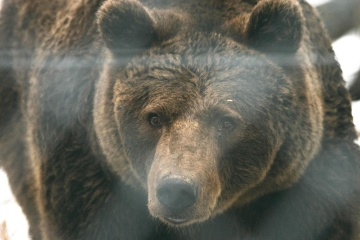wildlife, nature, brown bear, animal, fur, wild, predator, grizzly, strength, danger, bear, carnivore