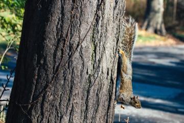 Fuchs Eichhörnchen, Tier, Nagetier, Chipmunk, Baum, Holz, Natur, Rinde, Umwelt, Sommer