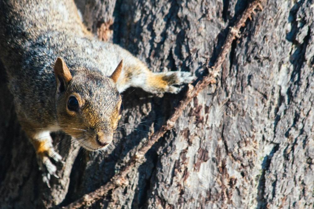 jordegern, natur, dyreliv, egern, gnaver, træ bark