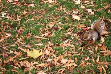 Fox ekorre, djur, jordekorre, löv, natur, träd, ekorre, marken, trä, park, gräs, växt