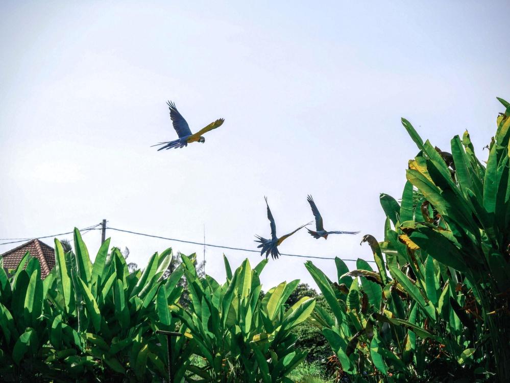 fugl, flock, sky, natur, dyr, jungle, papegøje, vilde, eksotiske, regnskov