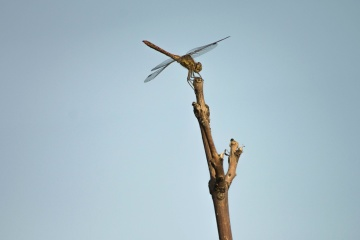 sky, dragonfly, insect, branch, animal