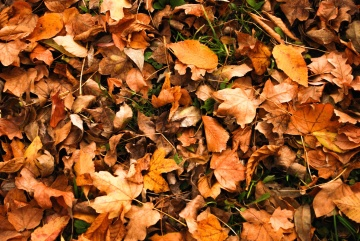 autumn, leaf, tree, nature, ground, dry, brown, flora, ground