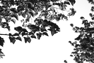 leaf, nature, tree, flora, branch, wood, monochrome