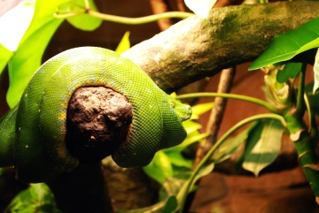 animal, tropical forest, nature, leaf, tree, flora, reptile, snake, mamba
