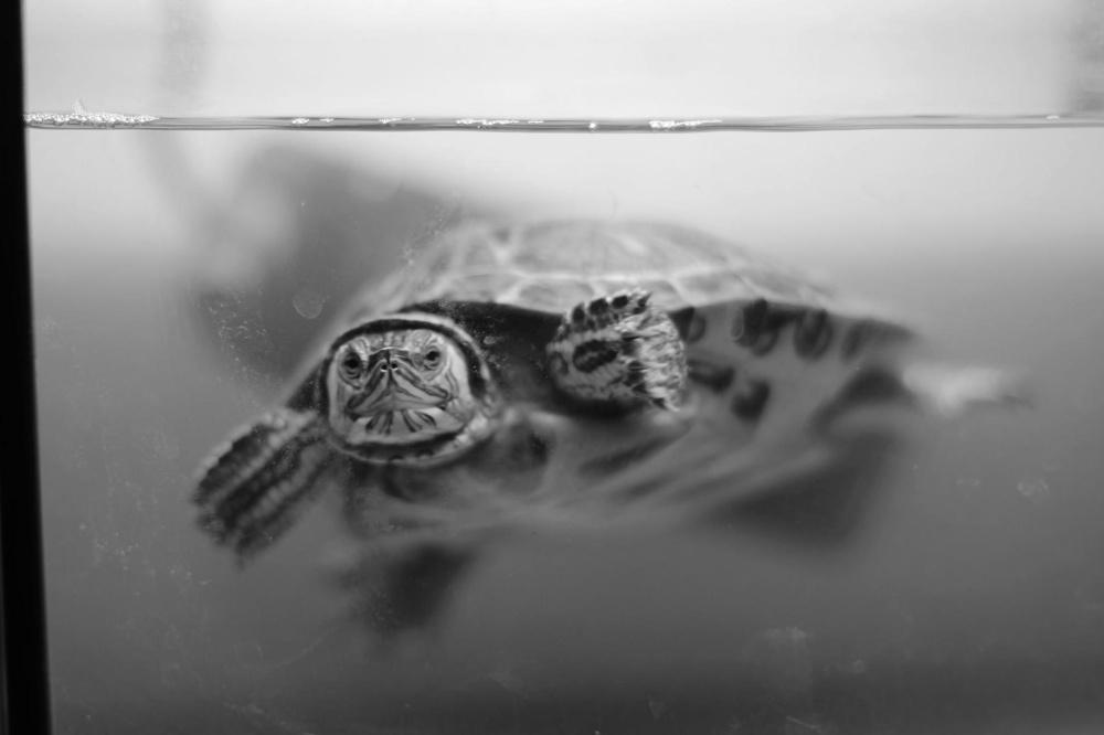 缸, 爬行动物, 水, 海龟, 动物, 宠物, 单色, 野生动物, 两栖动物, 水下