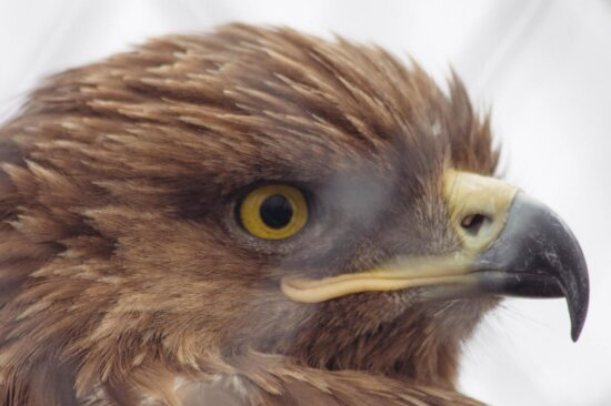 eagle, raptor, bird, hawk, falcon, wildlife, portrait