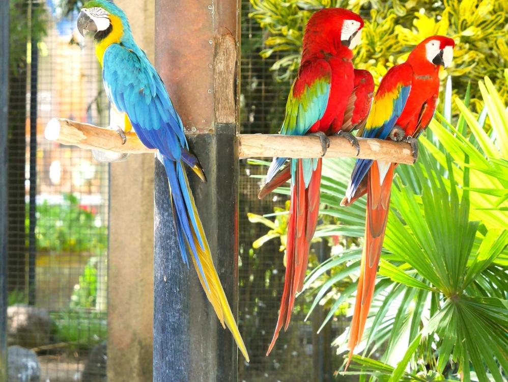 Papoušek, pták, peří, papoušek, volně žijící zvířata, exotické, zobák, zvíře, tropické