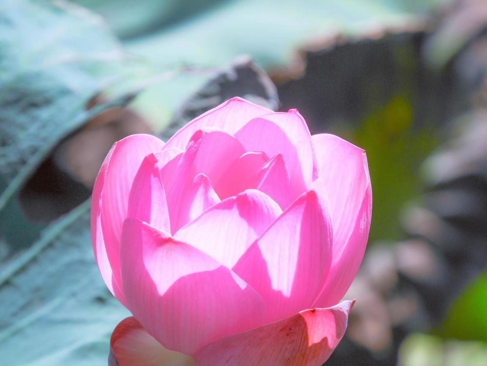 flower, nature, flora, leaf, lotus, summer, rose, pollen, petal