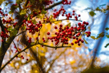 autumn, tree, leaf, branch, nature, fruit, berry