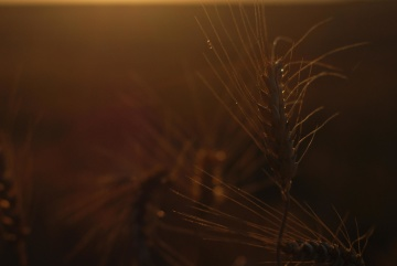 Seigle, silhouette, coucher de soleil, aurore, soleil, paysage, lumière, humide, rosée