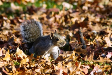 Ardilla, naturaleza, ardilla, árbol, roedor, hojas, otoño