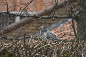 pigeon, bird, nature, tree, wildlife, branch