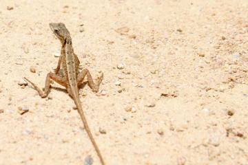 jaszczurka, gad, piasek, natura, plaża, pustynia, przyrody,