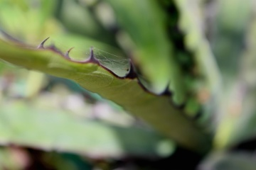 leaf, flora, nature, cactus, garden, aloe, macro