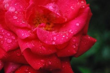 Fleur, rose, nature, rosée, flore, beau, jardin, pétale