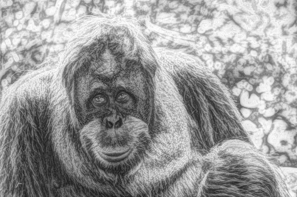 művészet, draw, fekete-fehér, portré, állat, orángután, ape, prímás