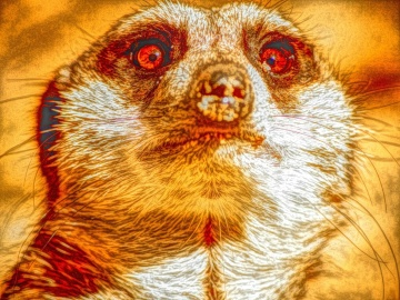 meerkat, art, photomontage, animal, wildlife, nature