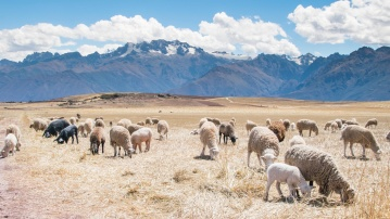 sheep, merino, mountain, livestock, nature, animal, sunshine