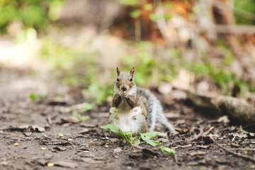 Nature, faune sauvage, animal, fourrure, écureuil, rongeur