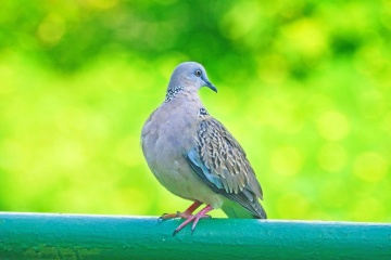 nature, bird, pigeon, dove, animal