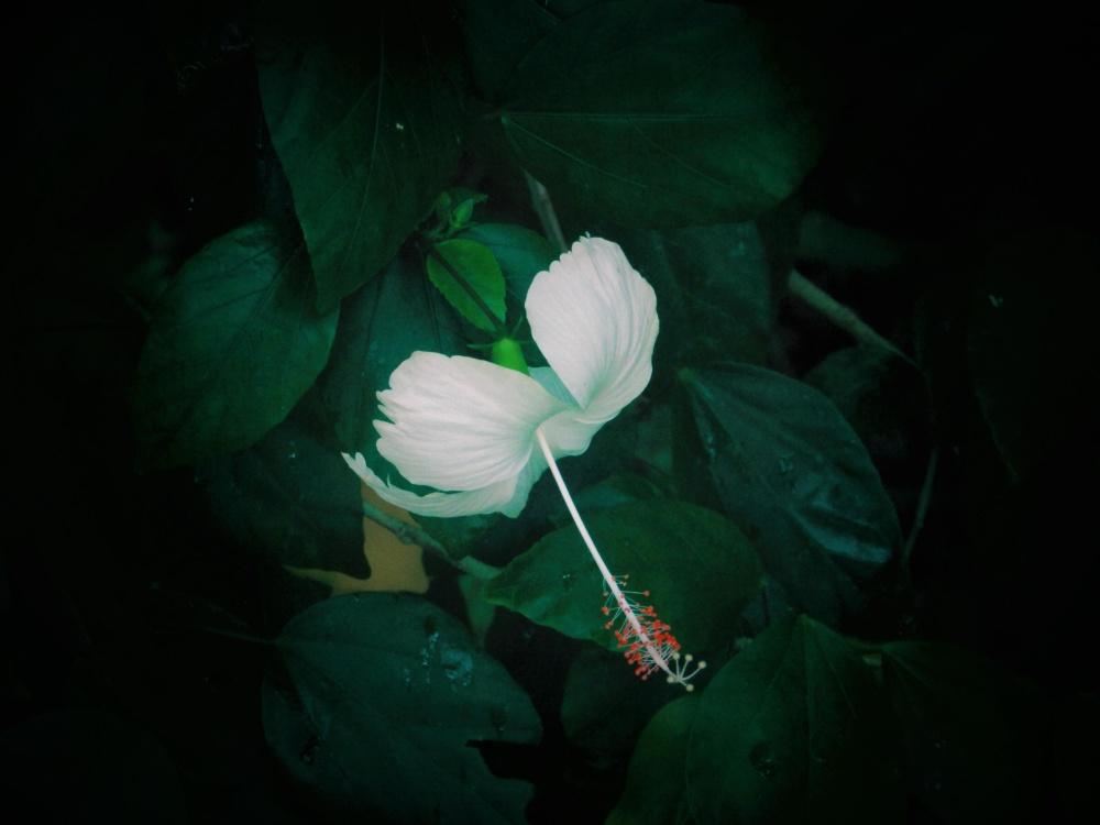 flower, dark, flora, foliage, petal, garden, foliage