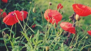 flower, poppy, nature, flora, summer, leaf, grass, petal