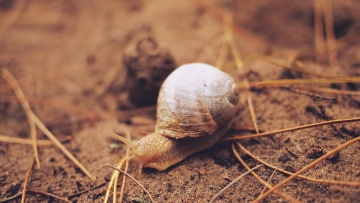 invertebrate, organism, slow, snail, shell, animal, ground, soil, gastropod