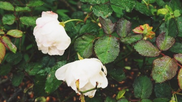 dew, rain, wet, flower, leaf, flora, nature, rose, shrub
