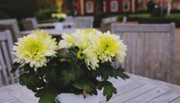 furniture, garden, decoration, flora, summer, leaf, petal, dahlia, flower, nature, herb