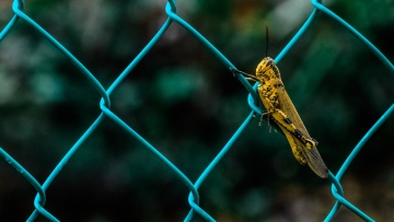 Invertebrato, filo, insetto, cavalletta, artropode