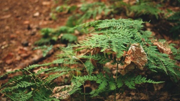 leaf, forest, tree, foliage, garden, flora, summer, leaves, fern, flora, nature, wood