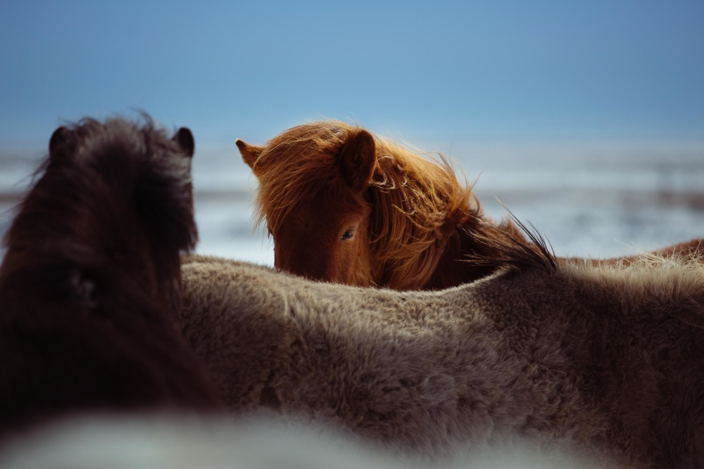 Free Picture: Horse, Animal, Fur, Nature