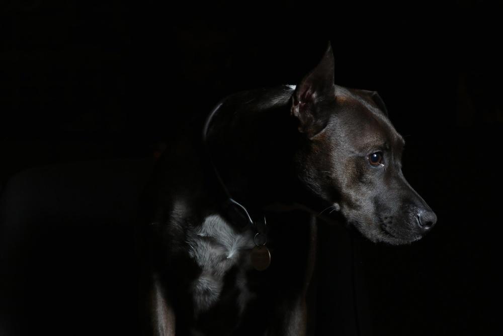 개, 초상화, 동물, 개, 사진 스튜디오, 블랙, 다크