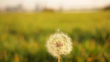 Paardebloem, natuur, gras, veld, zomer, bloem, flora