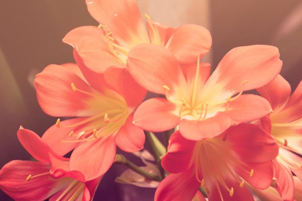 flower, nature, flora, pink, petal, pistil, blossom, bloom