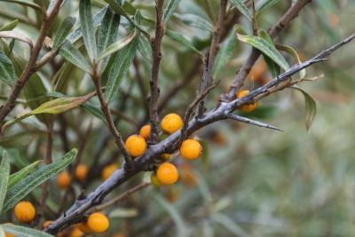 fruit, arbre, branche, nature, feuilles, flore, nourriture, arbuste
