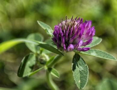 bodlák, příroda, flora, květ, list, zahrada, léto, tráva