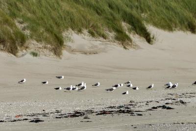 zeemeeuw, zand, strand, kust, water, natuur, landschap, kust