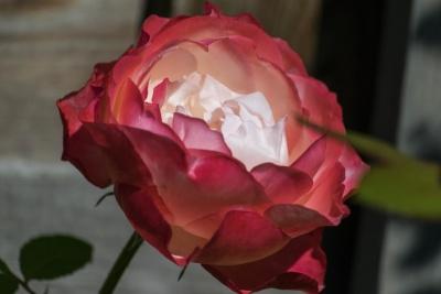 flower, rose, leaf, nature, petal, pink, shrub, blossom, plant