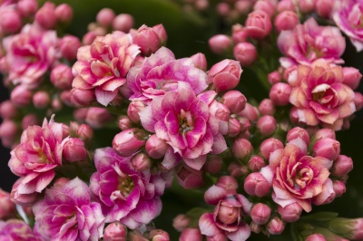 flor, naturaleza, flora, jardín, Pétalo, verano, hoja, rosa