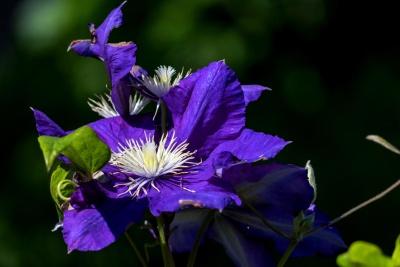 λουλούδι, φύση, φύλλα, χλωρίδα, Κήπος, καλοκαίρι, ύπερο, σκοτάδι