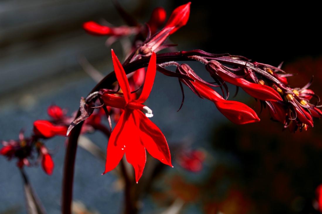 flower, red, petal, wild, pollen, blossom, herb, garden, flowers, summer