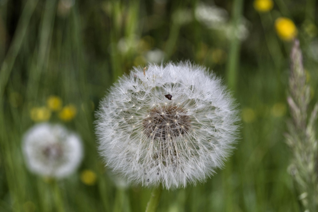 dandelion, flower, nature, summer, flora, grass, field, leaf