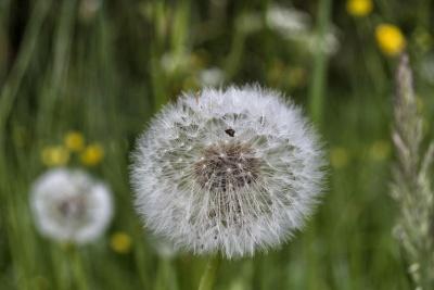 diente de León, flor, naturaleza, verano, flora, hierba, campo, hoja